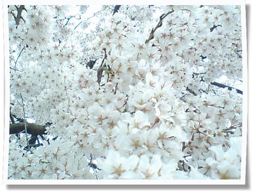 しだれ桜写真040310.jpg