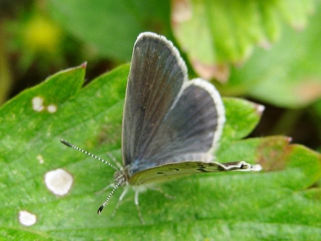 シジミ蝶b091510.JPG