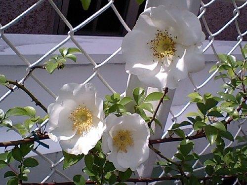 バラが咲いた050910.JPG