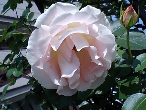 ピンクのバラ.JPG