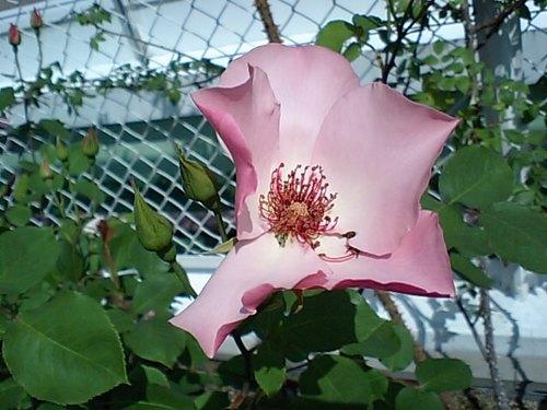 ピンクの一重のバラ.JPG