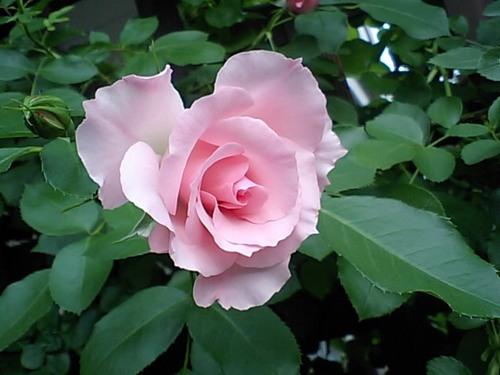 ピンク色のバラ.JPG