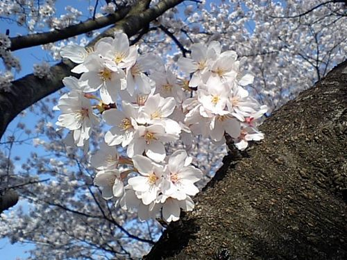 桜0410101.JPG