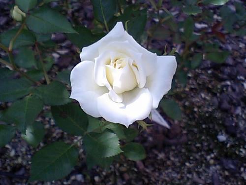 白いバラ051610.JPG