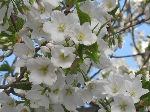 白い桜の花041010.JPG