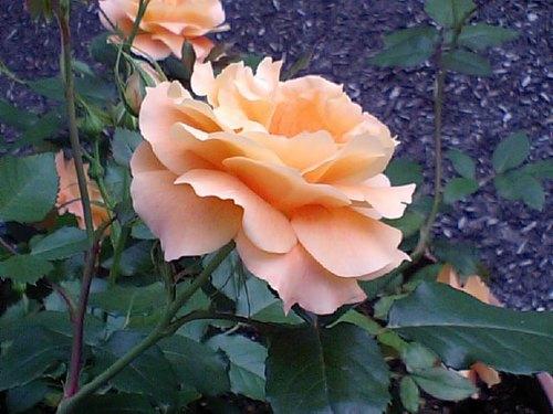 オレンジ色の薔薇.JPG