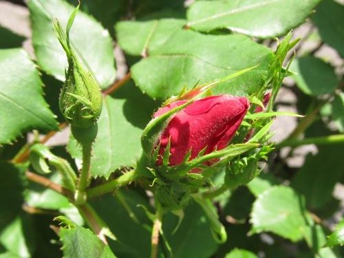 IMG_1050紅い薔薇051511.jpg