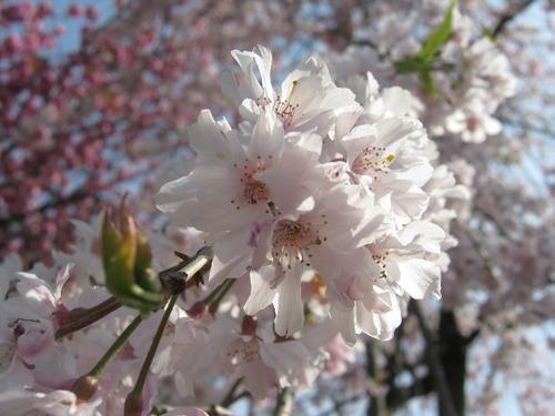 IMG_3234枝垂れ桜.JPG