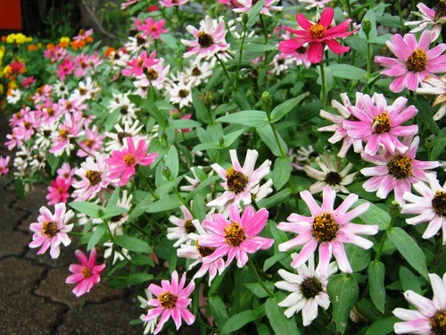 IMG_7187ピンクの花100111.jpg
