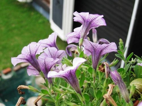 IMG_7276紫の花100111.jpg